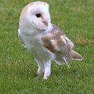 Barn owl by Waggywag