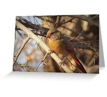 Desert Cardinal~ Pyrrhuloxia (Female)  Greeting Card