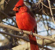 Northern Cardinal (Male) by Kimberly Chadwick