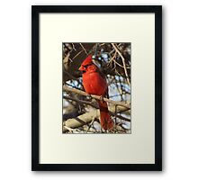 Northern Cardinal (Male) Framed Print