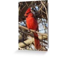 Northern Cardinal (Male) Greeting Card