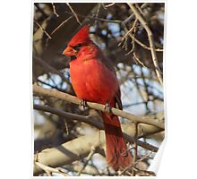Northern Cardinal (Male) Poster