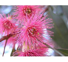 Pink Gum Blossom Photographic Print