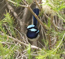 Superb Fairy-wren (Malurus (Malurus) cyaneus) - Normanville, South Australia by Dan & Emma Monceaux