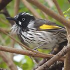 New Holland Honeyeater (Phylidonyris (Meliornis) novaehollandiae) - Normanville, South Australia by Dan & Emma Monceaux