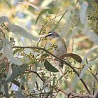 Striated Pardalote (Pardalotus (Pardalotinus) striatus) - Normanville, South Australia by Dan & Emma Monceaux