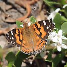 Australian Painted Lady (Vanessa kershawi) - Normanville, South Australia by Dan & Emma Monceaux