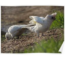 Little Corellas (Cacatua (Licmetis) sanguinea) - Yankalilla, South Australia Poster