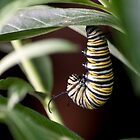 Monarch Butterfly Caterpilar transitioning into the crysalis by Sunchia Milic
