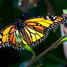 Monarch Butterfly 3 by Sunchia Milic
