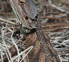 Central Bearded Dragon (Pogona vitticeps) - Point Lowly, South Australia by Dan & Emma Monceaux