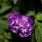 Lantana Flower 2 by Alex Colcheedas