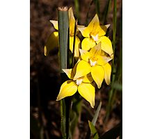 Cowslip Orchids Gathercole Reserve Photographic Print
