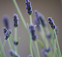 Lavanda by Abies