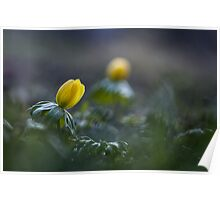 Winter aconite Poster