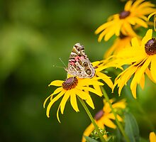 Painted Lady by Thomas Young