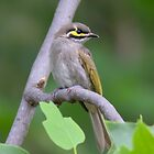 Yellow Faced Honeyeater by Kym Bradley