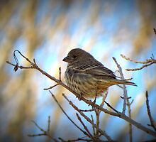 House Finch (Female) by Kimberly Chadwick