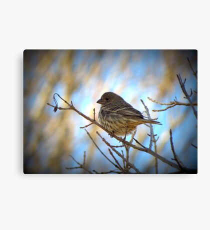 House Finch (Female) Canvas Print