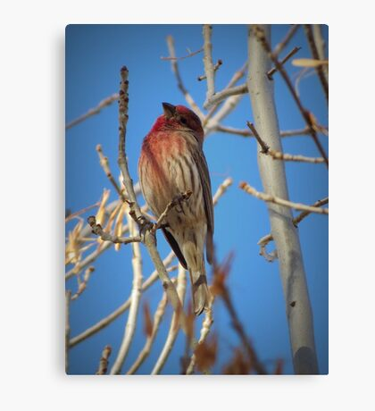 House Finch (Male) Canvas Print