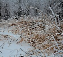 Frost Laden Grasses by Sandra Foster