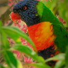 Rainbow Lorikeet by myraj