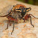 Double Drummer Cicada - Thopha saccata by Andrew Trevor-Jones