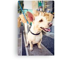 Chihuahua From Pound To Paradise *PROCEEDS TO CHARITY* Canvas Print
