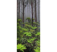 The tallest flowering trees in the world. Mountain ash    Photographic Print