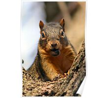 Red Squirrel Observer Poster