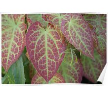 Green Veined Red Leaf  Poster