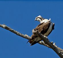 Osprey (Pandion haliaeetus) by Liam Wolff