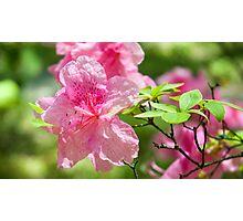 Pink Azalea Flowers Photographic Print