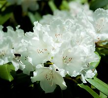 White Azalea Flowers by Michael Shake