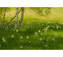 Birch Tree and Daffodils Photographic Print