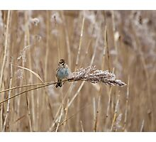 Reed Bunting on Reed Photographic Print