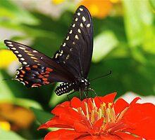 Beautiful Black Swallowtail by autumnwind