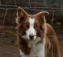 Collie Behind Fence by Sue Robinson
