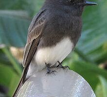 Black Phoebe by Steve Hunter