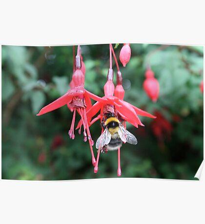 Bee in Flower Poster