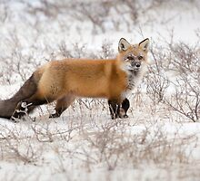 Red Fox Listening by cavaroc