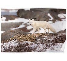 Walking Arctic Fox Poster