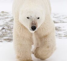 Approaching Polar Bear by cavaroc