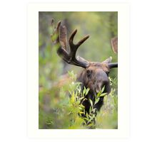 Bull Moose Smelling Bushes Art Print