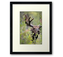 Bull Moose Smelling Bushes Framed Print
