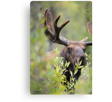 Bull Moose Smelling Bushes Canvas Print