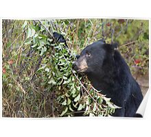 Black Bear Looking Up Branch Poster