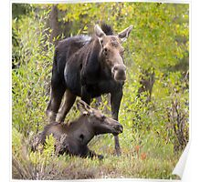 Moose Cow Protecting Calf Poster