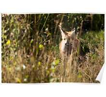 Hunting Red Fox Poster