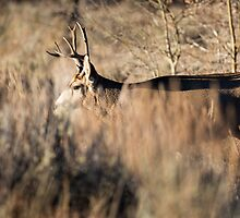 Mule Deer Buck in Sagebrush by cavaroc